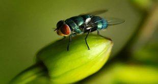 Mengapa Lalat Sangat Sulit Ditangkap? Ini Penjelasannya